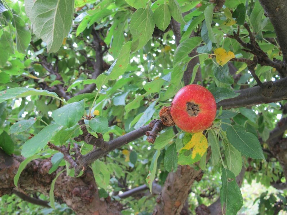 Äppletider8